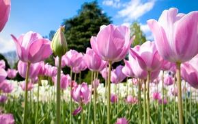 Картинка поле, небо, деревья, природа, лепестки, луг, тюльпаны
