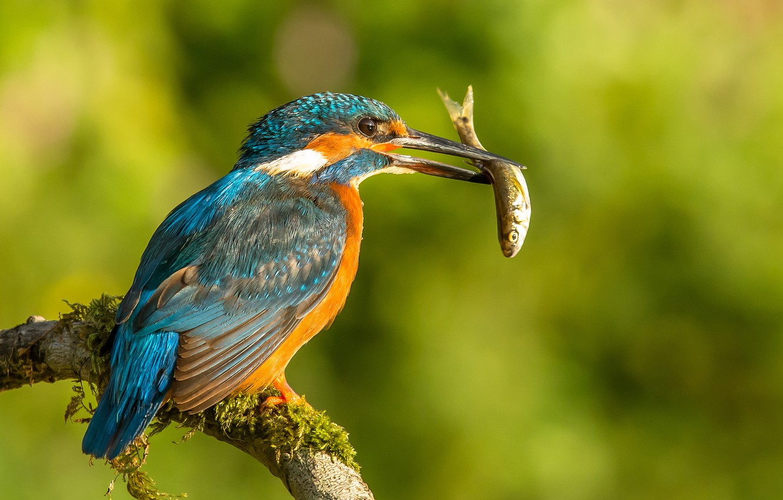 Фото обои птица, рыба, ветка, добыча, зимородок