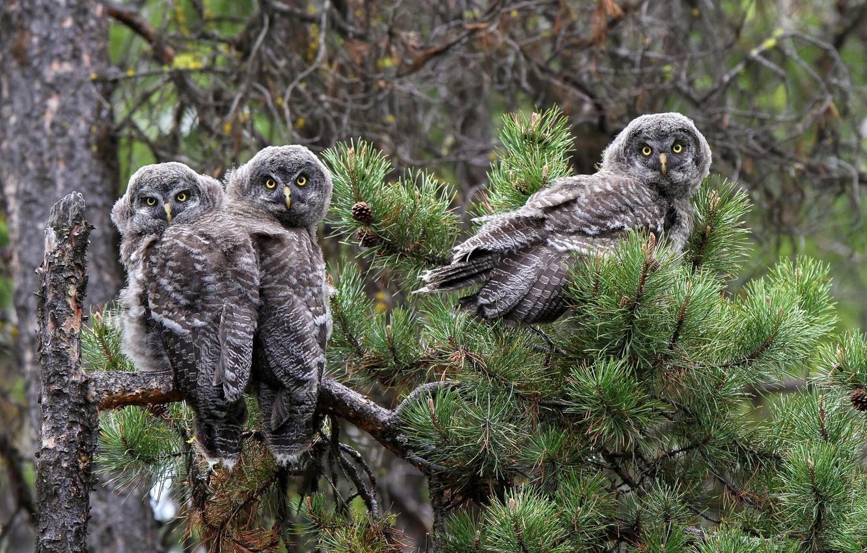 Фото обои птицы, ветка, совы, сосна, Бородатая неясыть