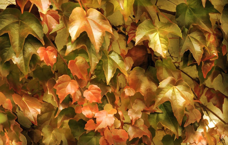 Фото обои листья, заросли, плющ