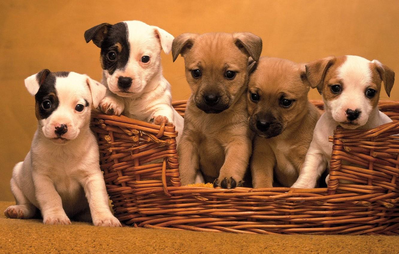 Фото обои Корзина, пятеро щенят