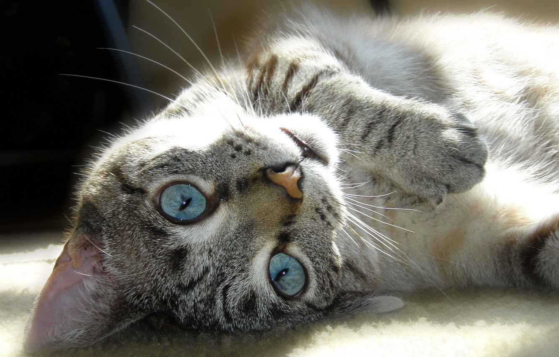 Фото обои кошка, глаза, кот, усы, морда, полоски, животное, лапа, шерсть, нос, лежит, окраска