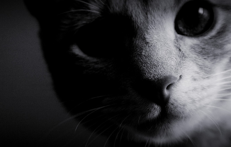 Фото обои кошка, глаза, фото, фон, обои, чёрно-белое, шерсть, нос, мордочка