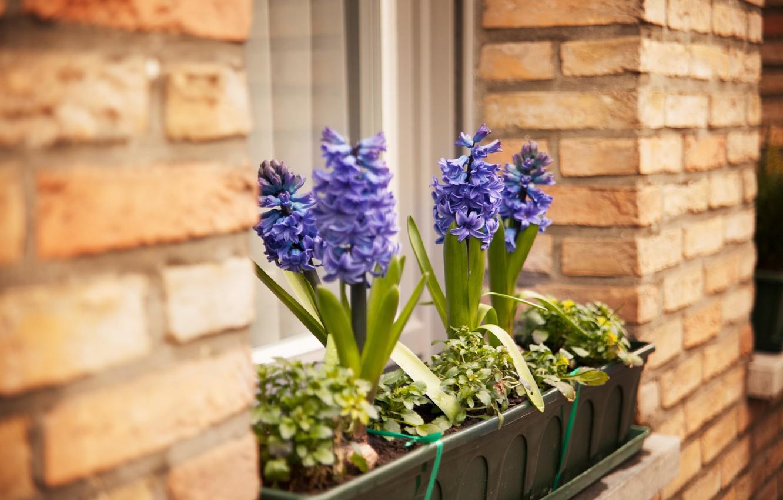 Фото обои цветок, цветы, стена, окно, гиацинт, кашпо