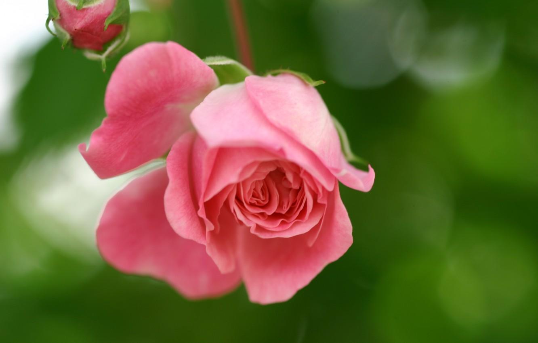 Фото обои зелень, цветок, макро, природа, блики, розовая, роза, лепестки, размытость, бутон