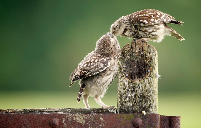 Фото обои животные, птицы, забор, совы