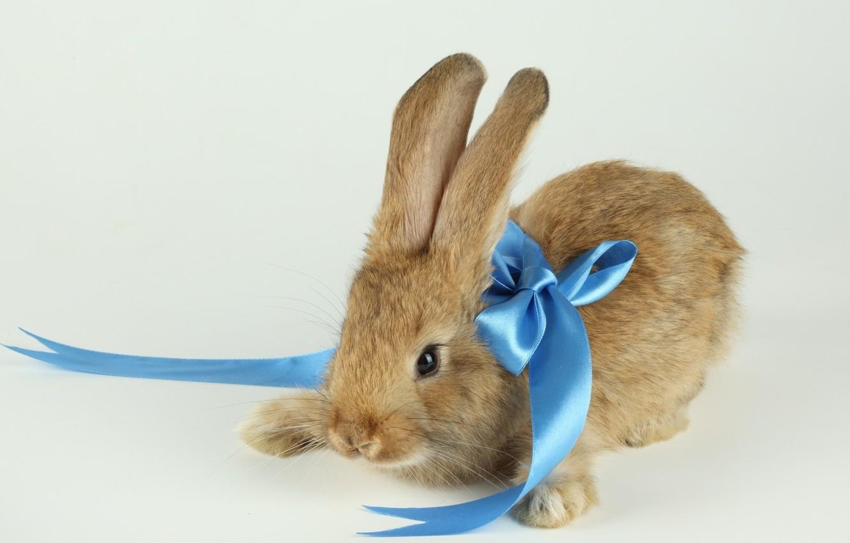 Фото обои фон, кролик, голубая, ленточка