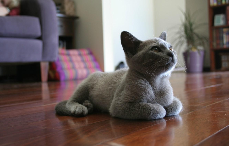 Фото обои котенок, серый, комната, мебель, Кот, лежит, на полу