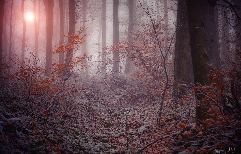 Фото обои зима, иней, деревья, ветки, природа, туман, сумрачный лес, сухая листва