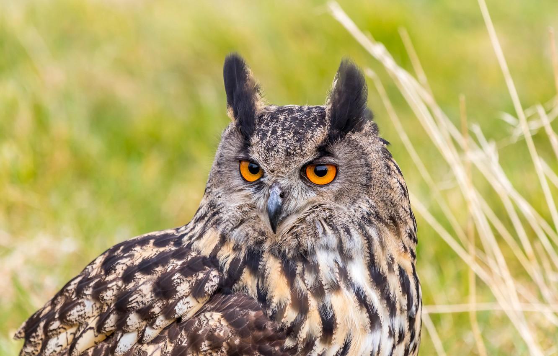 Фото обои взгляд, птица, портрет, хищник, филин, орлиная сова, Bubo bubo, Eurasian Eagle Owl
