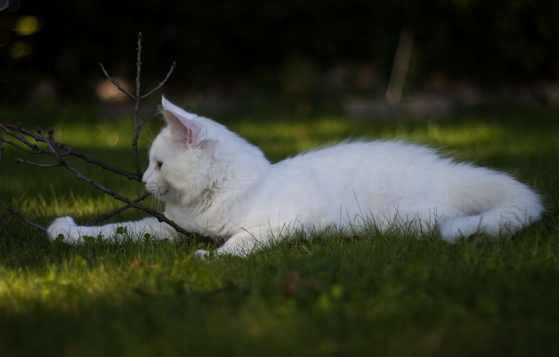 Фото обои белый, трава, кот, игра