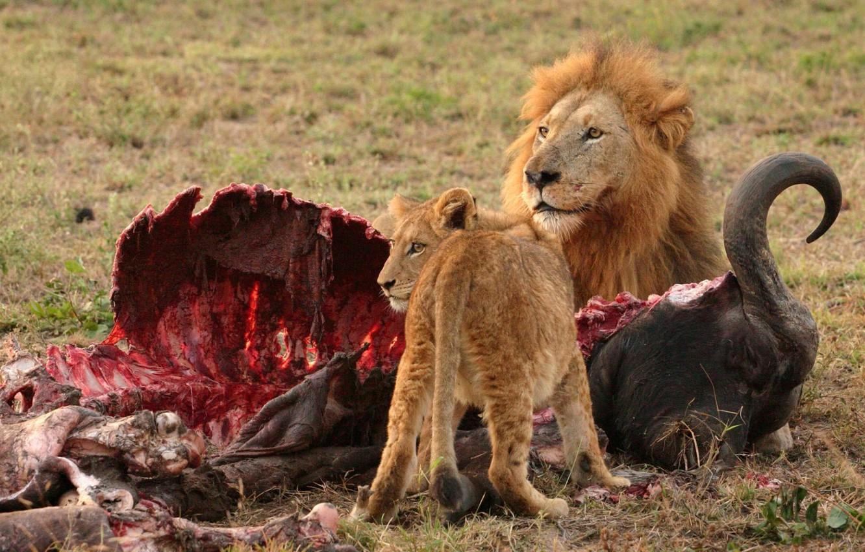 Обои мясо, лев. Разное foto 6