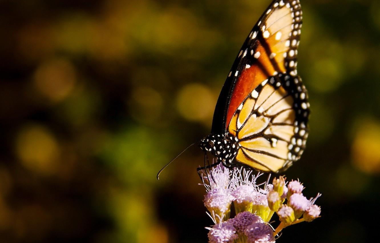 Фото обои цветок, Бабочка