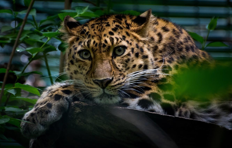 дальневосточный леопард фото на рабочий стол следует