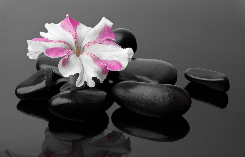 Фото обои цветок, flower, примула, primrose, Spa stones, спа камешки