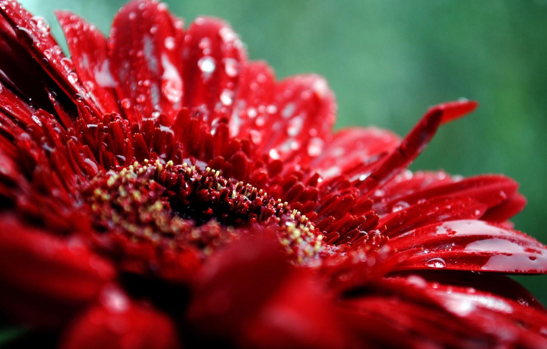 Фото обои цветок, капли, макро, красный, растение, лепестки