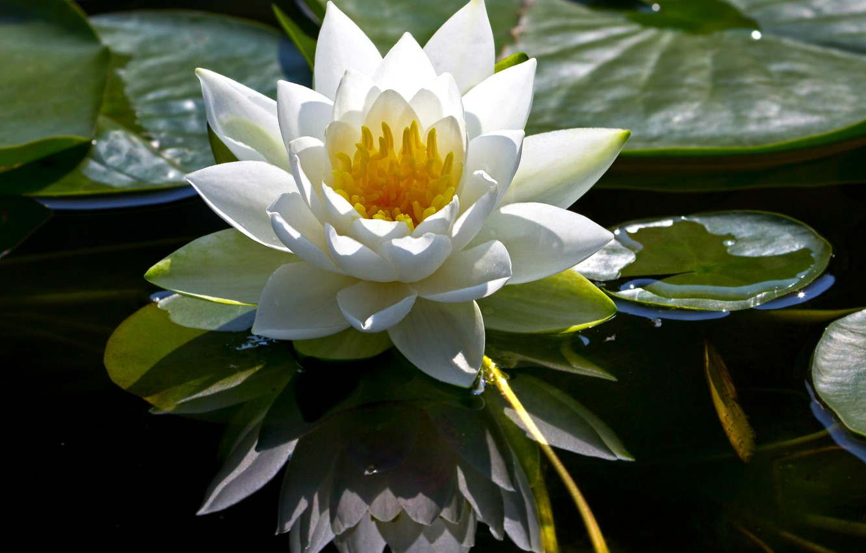это цветы водяная лилия фото картинки находится