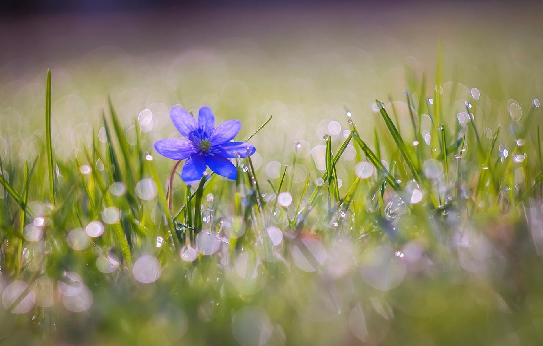 Фото обои капли, цветы, природа, боке