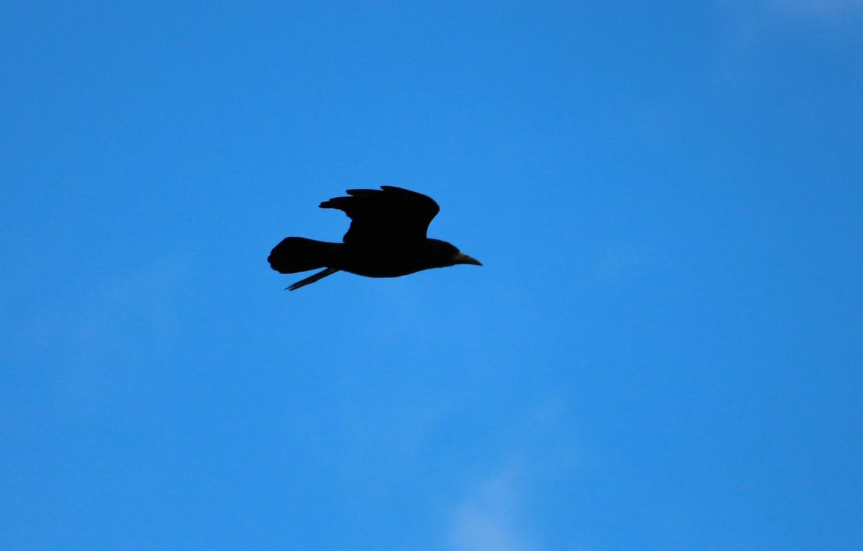 Фото обои sky, crow, flight