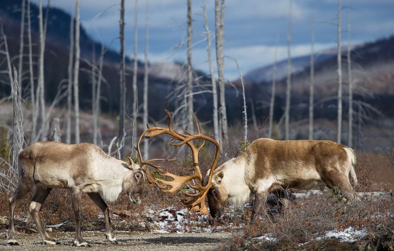 Фото обои природа, дуэль, олени