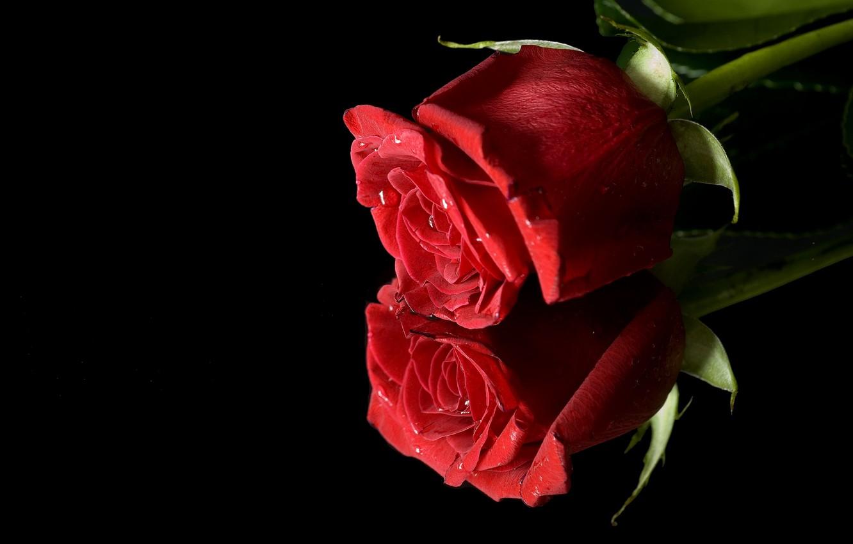 Фото обои красный, отражение, роза, бутон