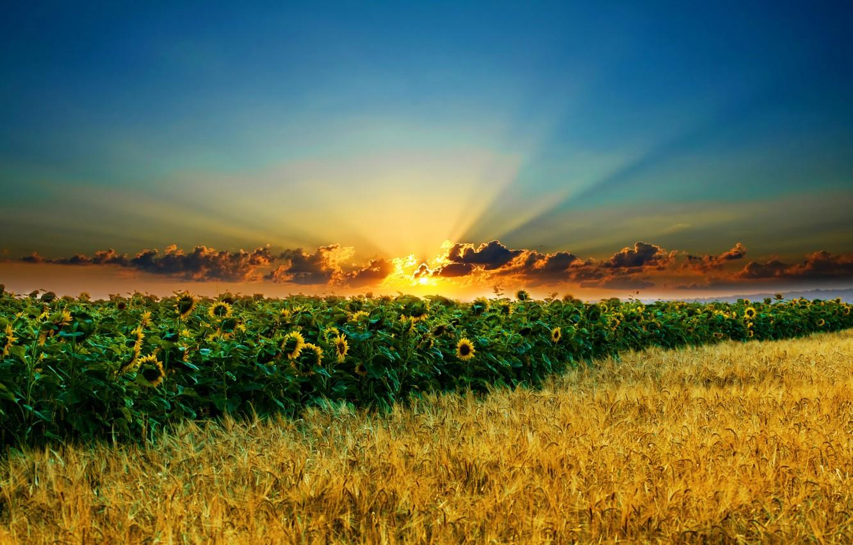 Фото обои поле, небо, солнце, облака, подсолнухи, колосья