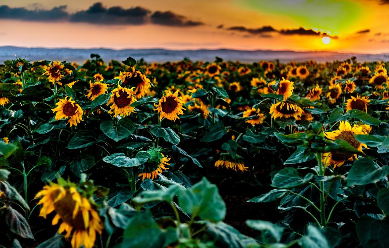Фото обои закат, природа, подсолнух
