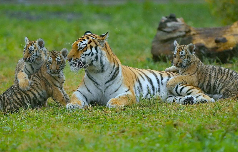Фото обои котята, тигры, тигрица, тигрята, материнство, детёныши