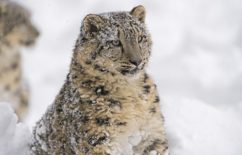 Фото обои морда, портрет, хищник, ирбис, снежный барс, дикая кошка, снежный леопард