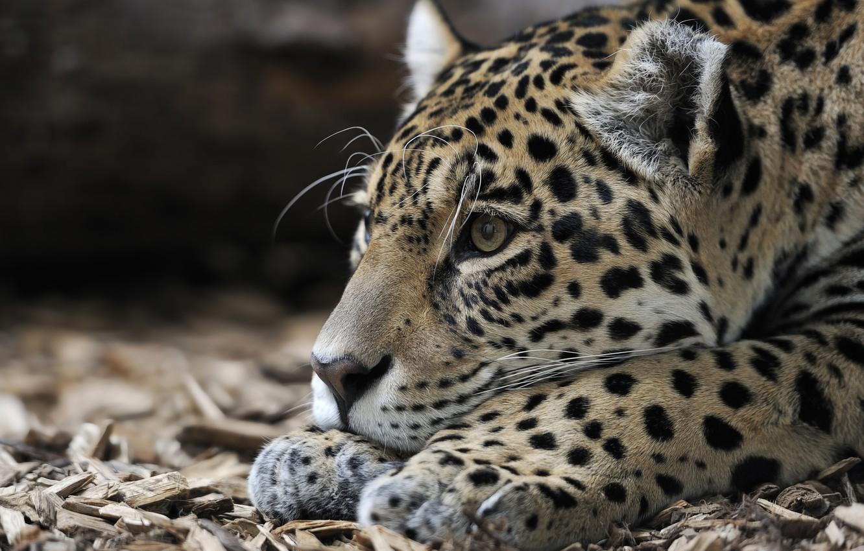 Фото обои животное, хищник, голова, ягуар