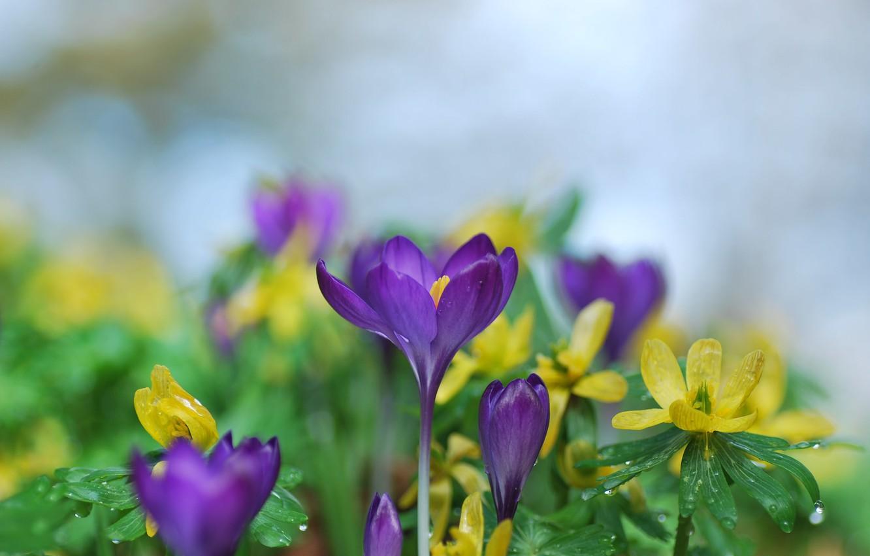 Фото обои вода, капли, цветы, природа, весна, крокусы