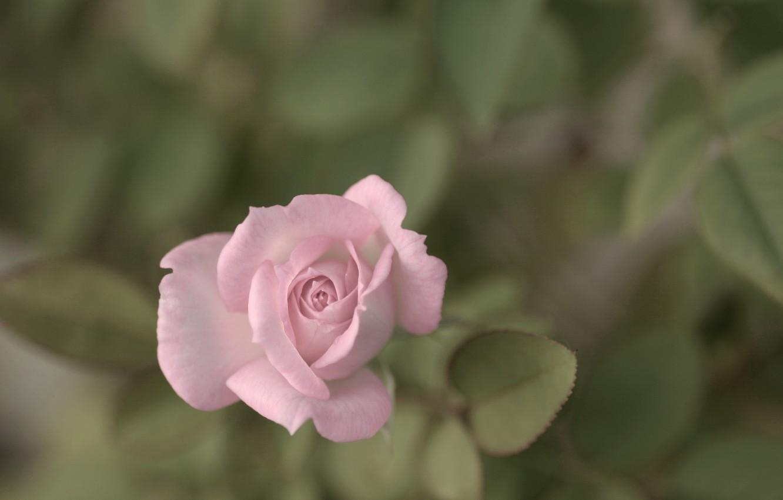 Фото обои цветок, листья, макро, природа, розовая, роза, растения, лепестки, бутон
