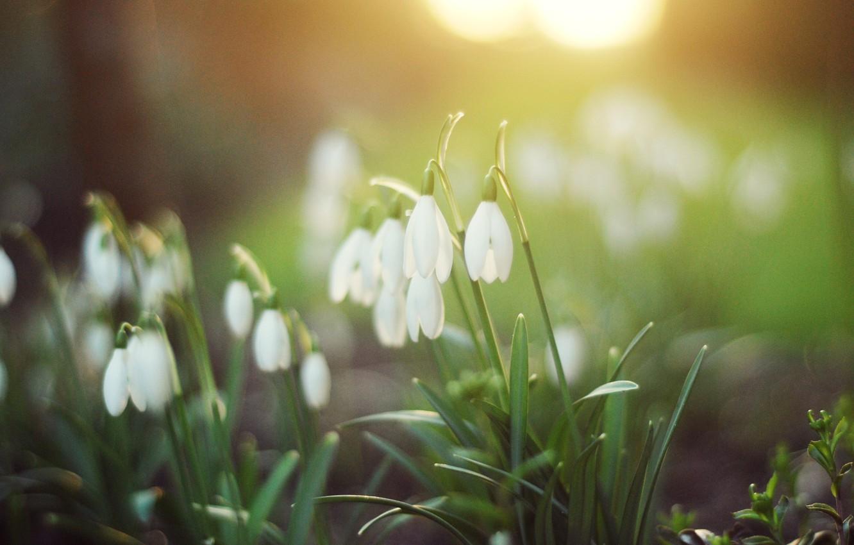 Фото обои зелень, лес, трава, свет, цветы, природа, весна, подснежники, белые