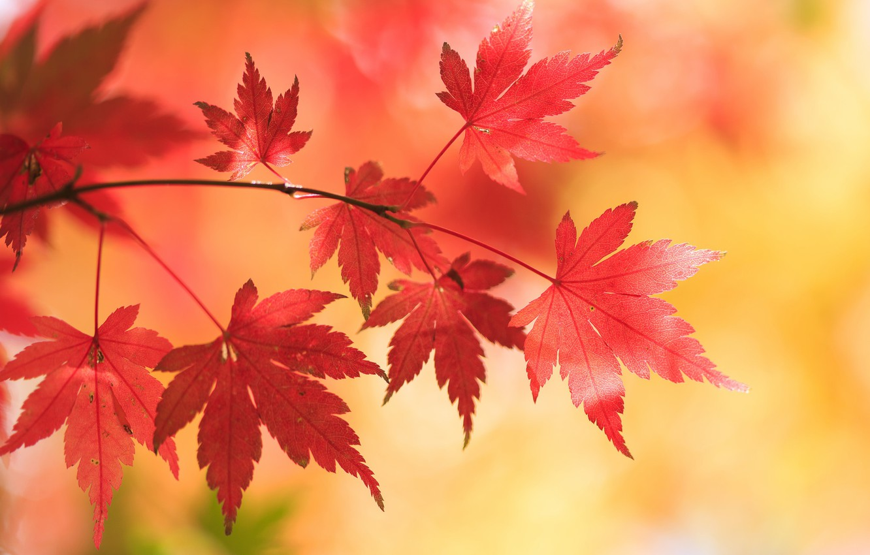 Фото обои осень, листья, фон, ветка, клён, Японский клён