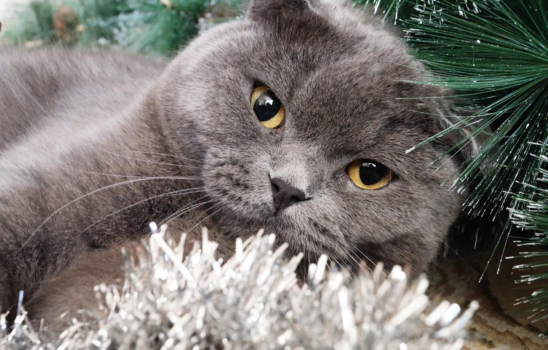 Британские кошки и елки фото