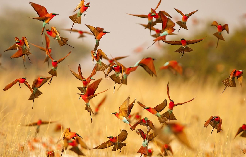 Фото обои полет, птицы, яркие, крылья, стая, щурки, пчелоеды