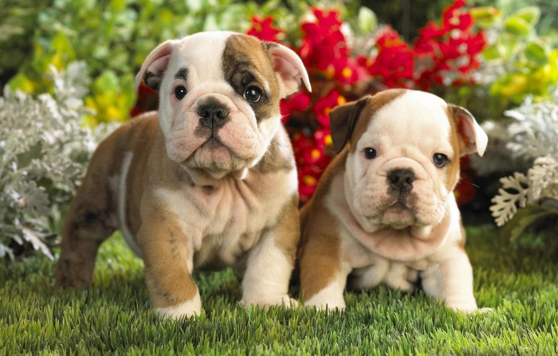 Фото обои щенки, малыши, двое