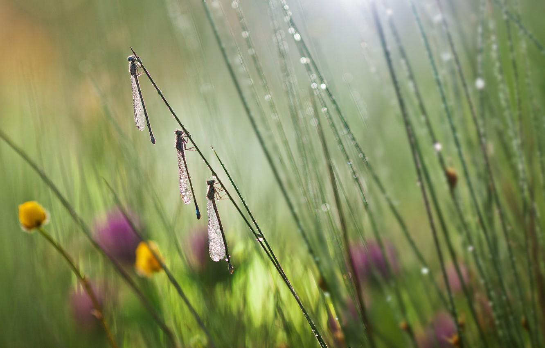 Фото обои трава, макро, цветы, насекомые, стрекозы