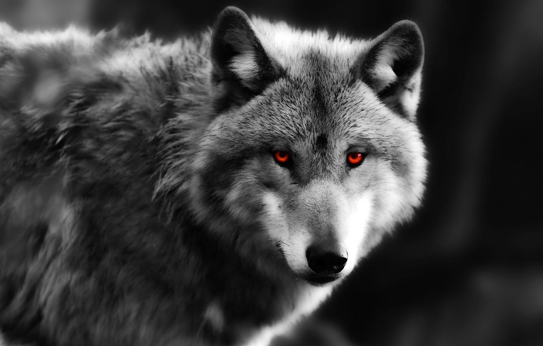 Фото обои глаза, взгляд, волк, хищник