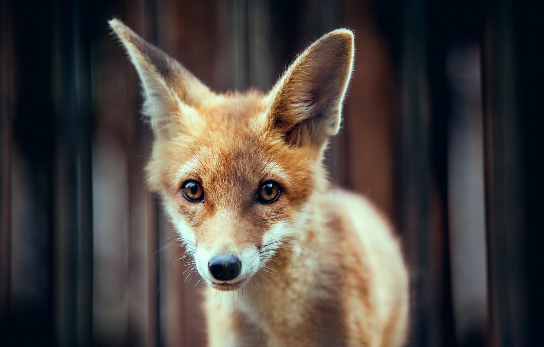 Фото обои животное, рыжий, мордочка, уши, лисёнок