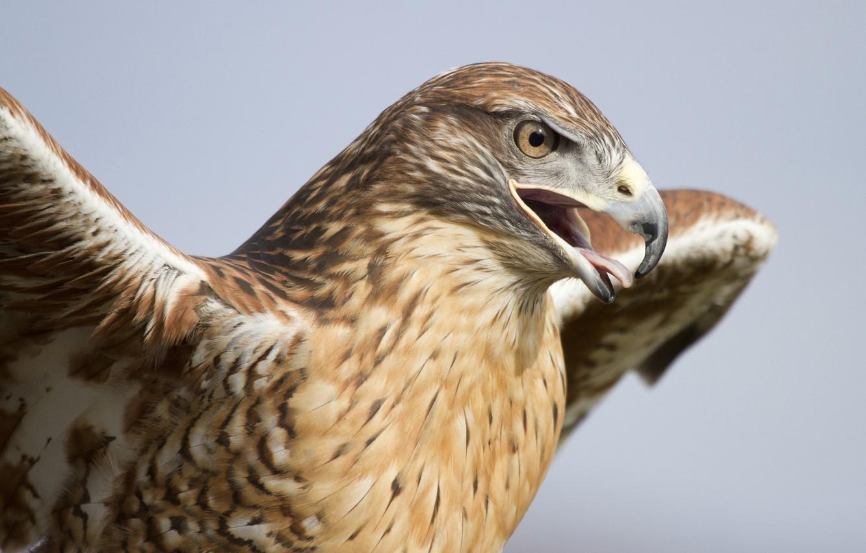 Фото обои птица, крылья, хищник, голова, клюв, ястреб