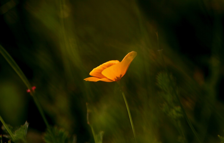 Фото обои макро, оранжевый, фокус, размытость, Мак, калифорнийский