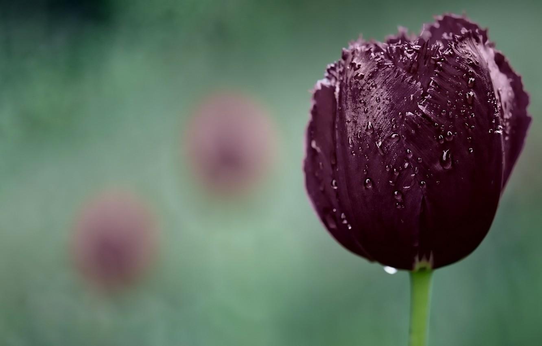 Фото обои капли, цветы, природа, тюльпан