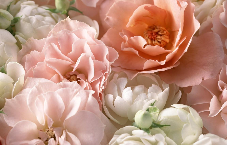 Фото обои макро, розовый, розы, лепестки, чайная роза