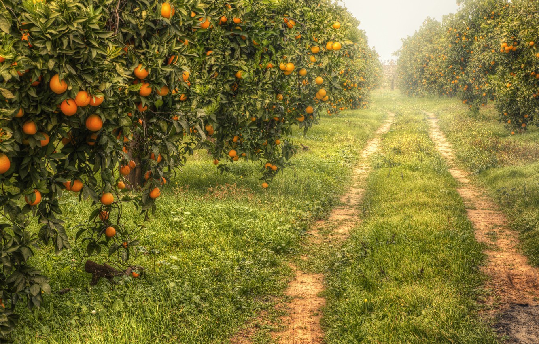 Фото обои природа, сад, мандарины