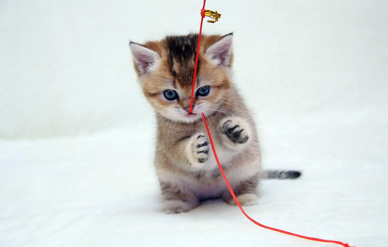 Фото обои взгляд, красный, котенок, лапы, рыжий, шнурок, играет, голубоглазый