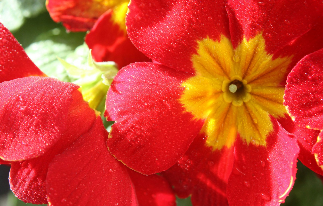 Фото обои colorful, flower, nature, Primula red