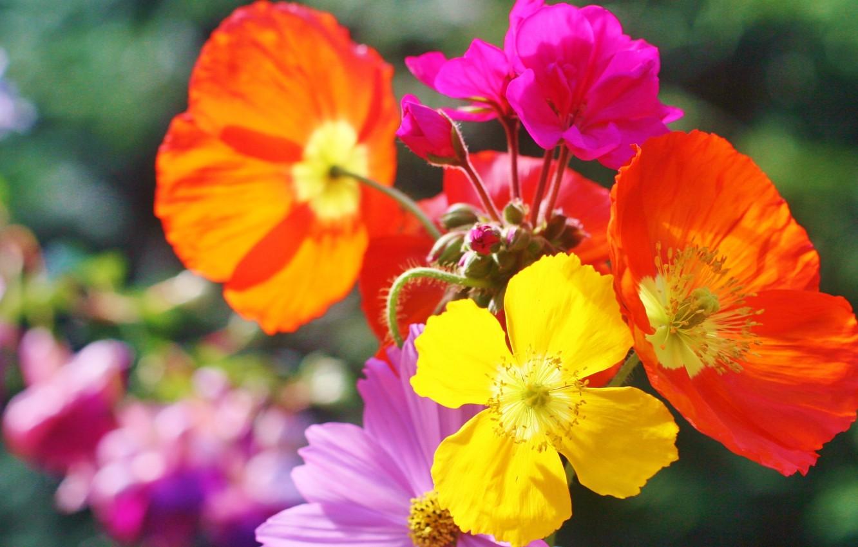 Фото обои цветы, природа, краски, маки, лепестки