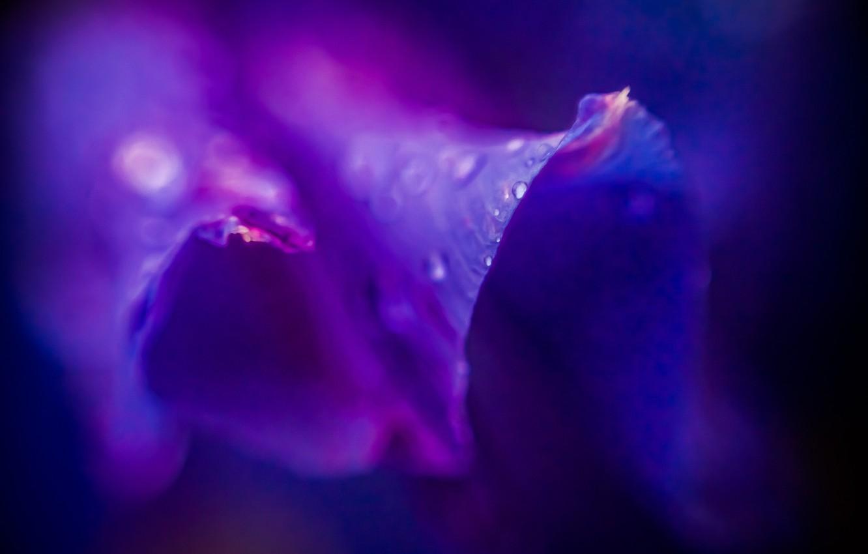 Фото обои фиолетовый, капли, макро, роса, сиреневый, Цветок, пурпурный