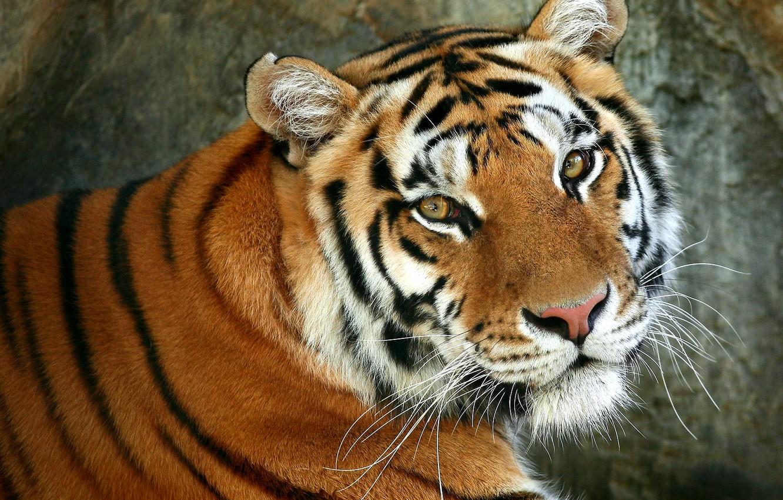 Обои Кошка, tigr, зверь. Кошки foto 14